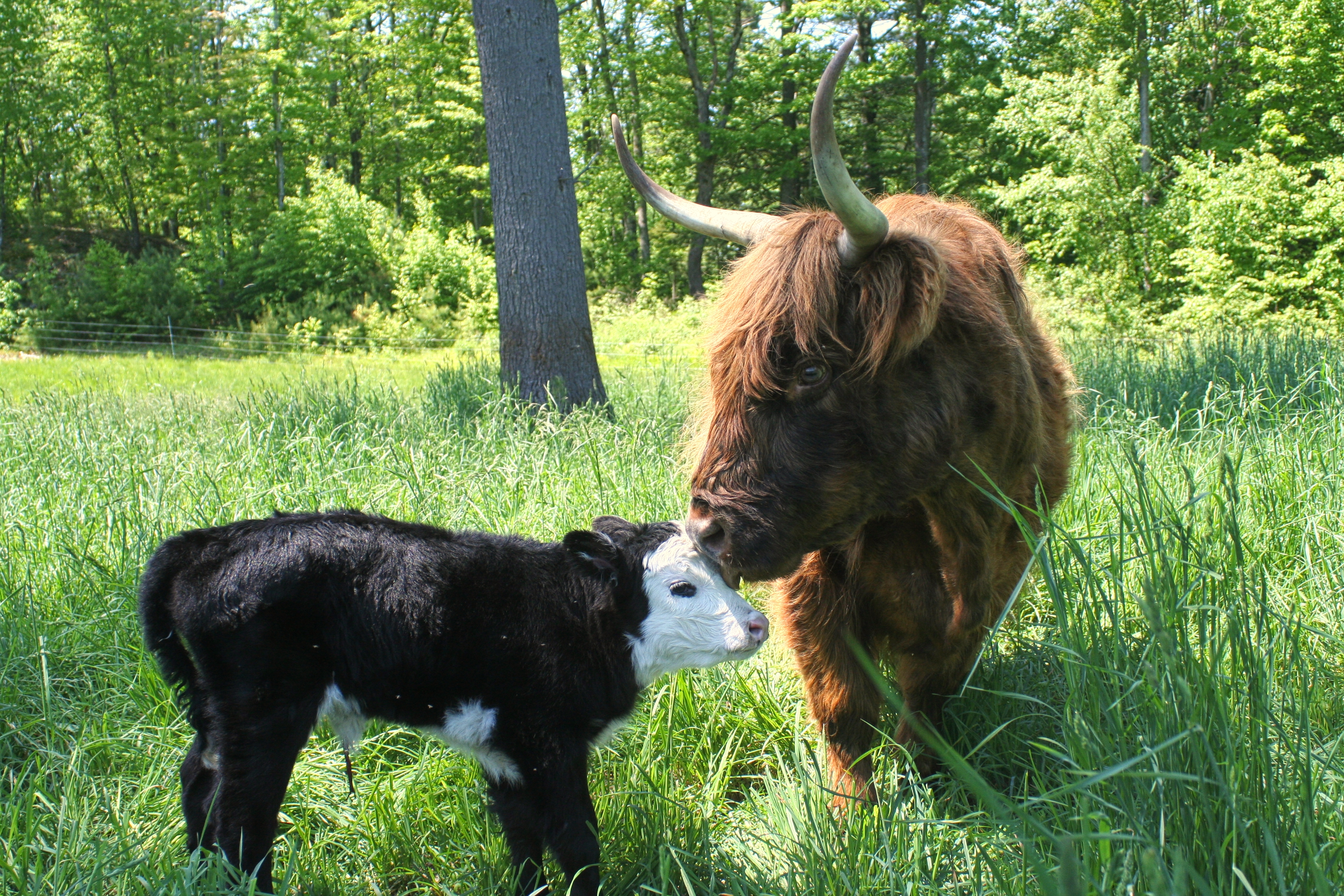 Laverne with Calf
